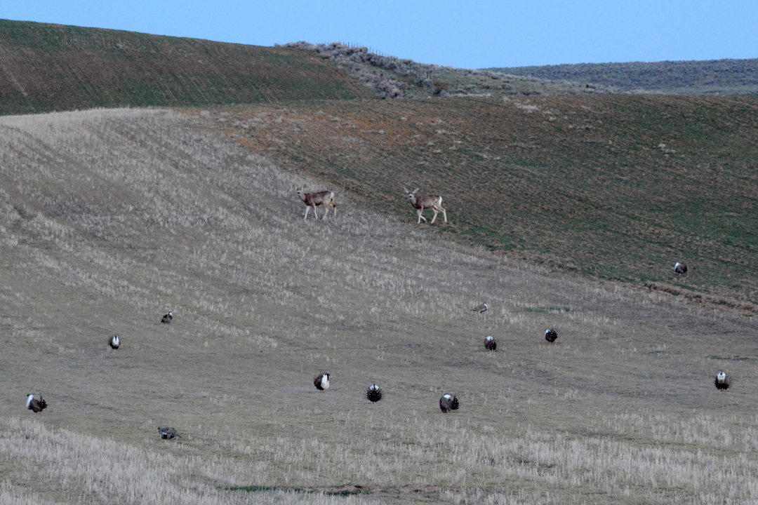 Deer wander through a sage grouse lek in northwestern Colorado in April 2015.                                                               Photo by Laura Lundquist