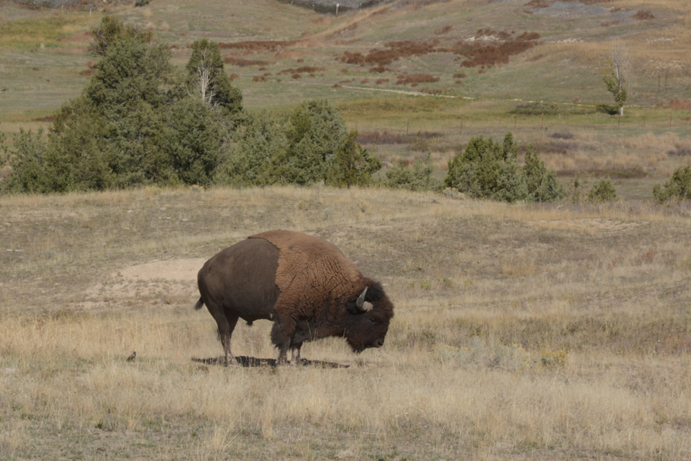 A bull bison stands his ground on the National Bison Range near Moiese in September 2015. Photo by Laura Lundquist