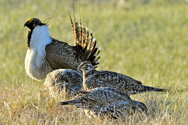 Three sage grouse hens browse near a male on a lek. Photo credit: U.S. Fish and Wildlife Service