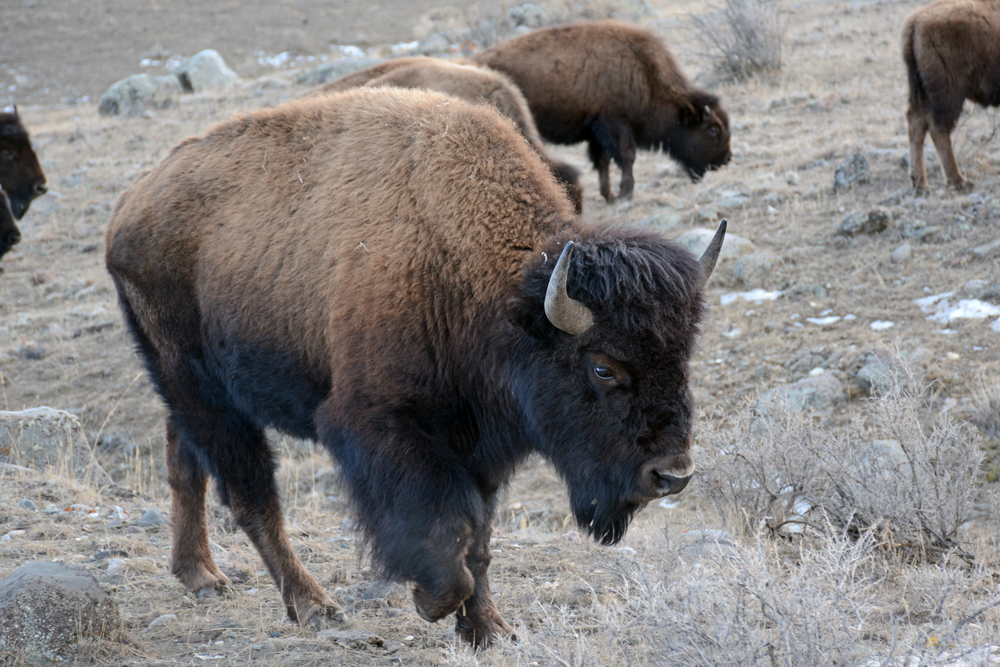 More than 4,000 bison live in Yellowstone National Park, but other U.S. herds rarely have more than 400 animals. Biologists want a new conservation herd of more than 1,000 animals on a large landscape.    Photo by Laura Lundquist