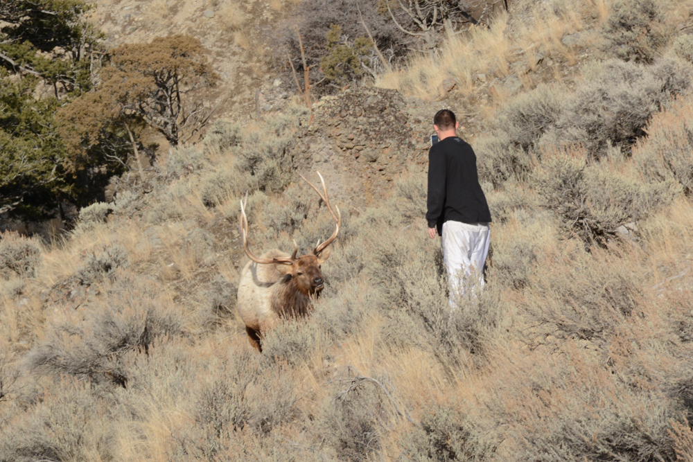 A tourist taking a photo gets too close to an elk in Yellowstone National Park in February 2015. Photo by Laura Lundquist