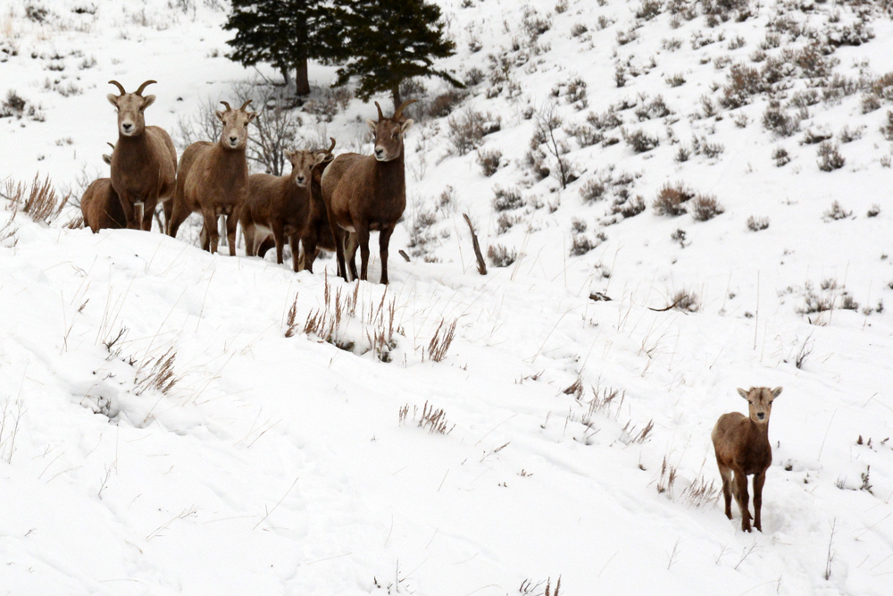Bighorn sheep wander the southern Madison Range. Photo by Laura Lundquist