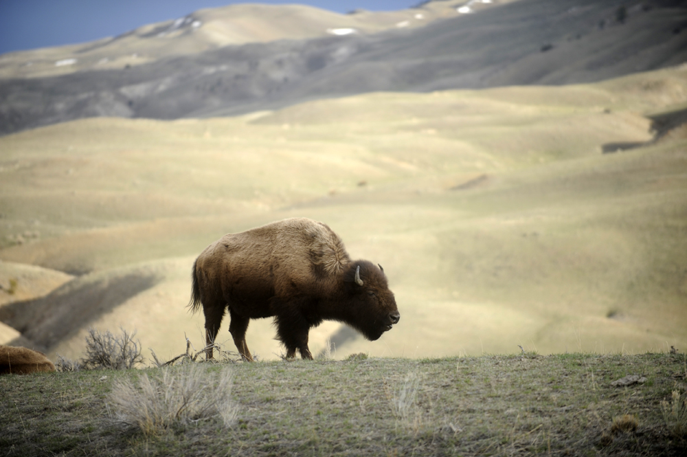 A bison wanders the foothills near Gardiner in March 2014. Photo by Laura Lundquist