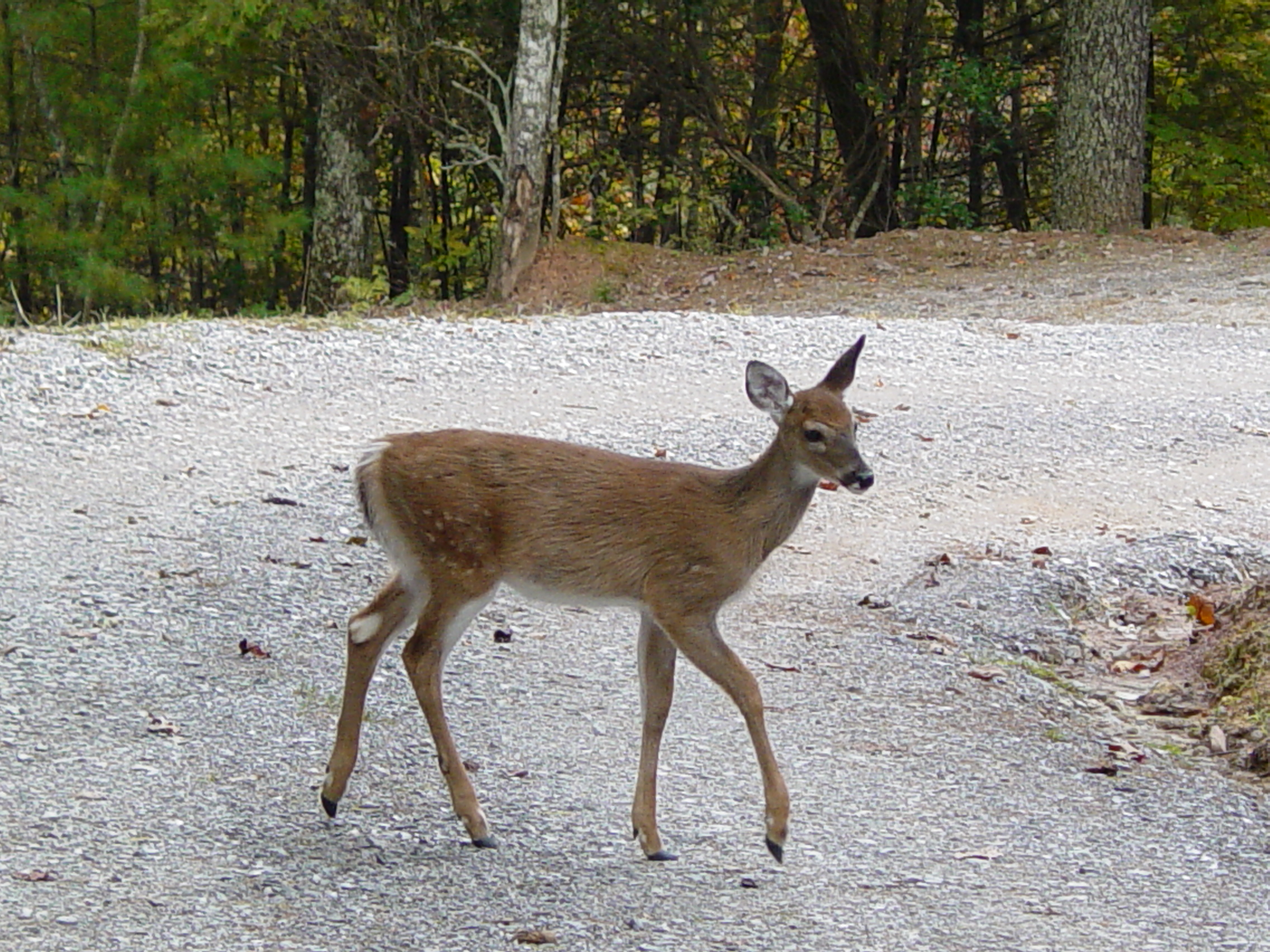 Deer Pictures - Fawn @ Pinecrest 004.jpg