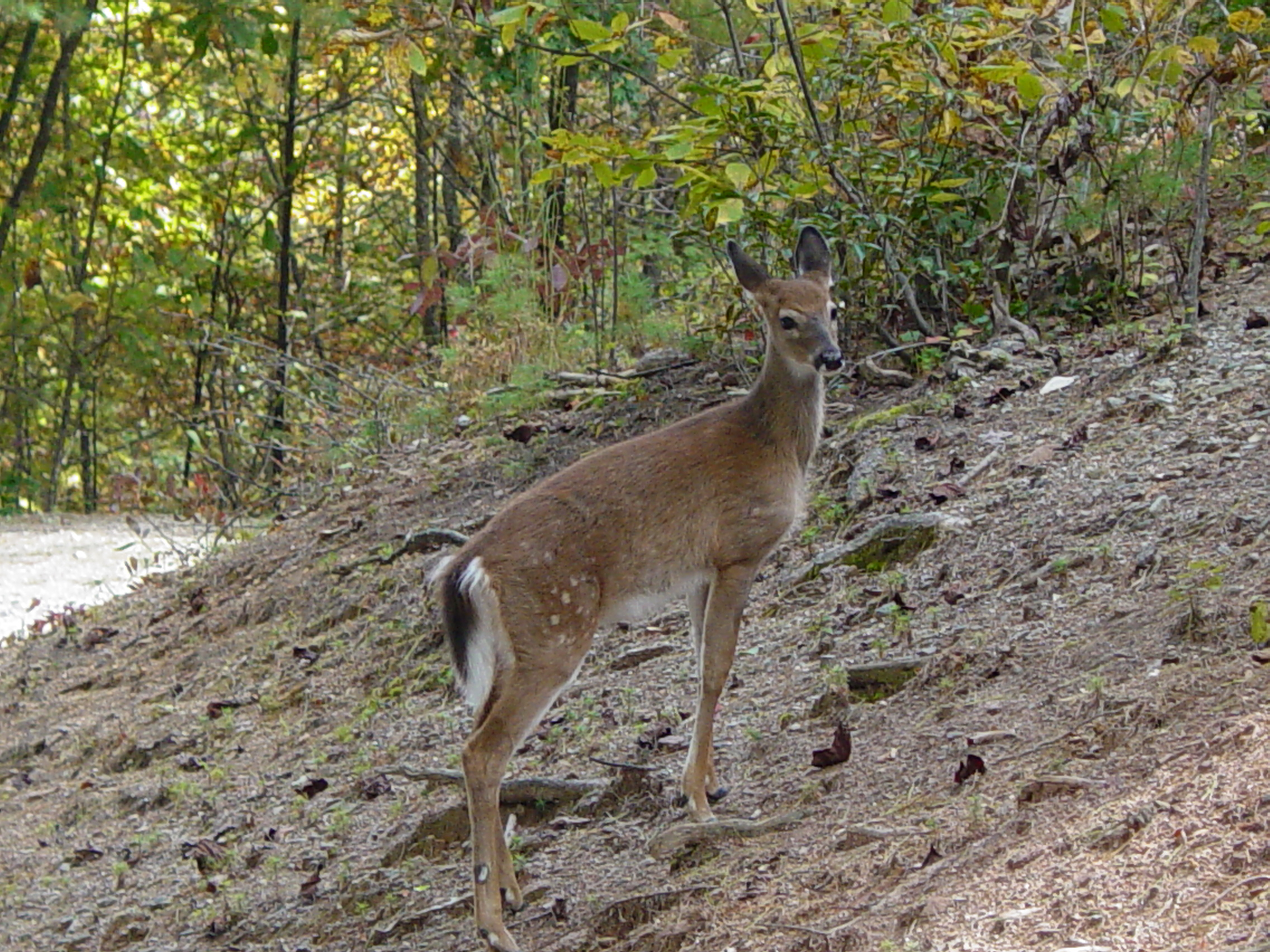 Deer Pictures - Fawn @ Pinecrest 010.jpg