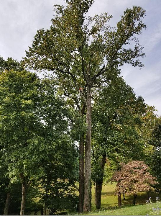 Tall Tree.JPG