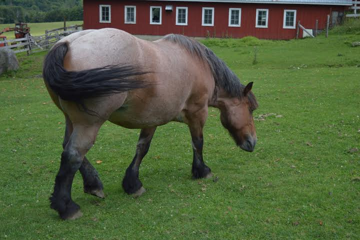 A rare original Belgian horse from Belgium.  This is the original breeding color and body, rare to see.
