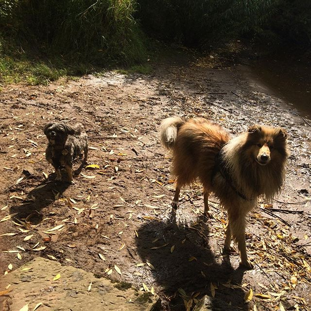 obie and Pickles down by river yesterday! #yorkdogwalker #whistledogwalking #roughcollie