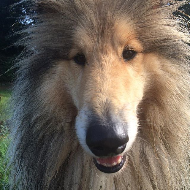 You look like a sharpened pencil! #whistledogwalking #yorkdogwalker #roughcollie #obietheroughcollie