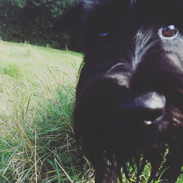 Dudley! #whistledogwalking #yorkdogwalker #schnauzersofinstagram