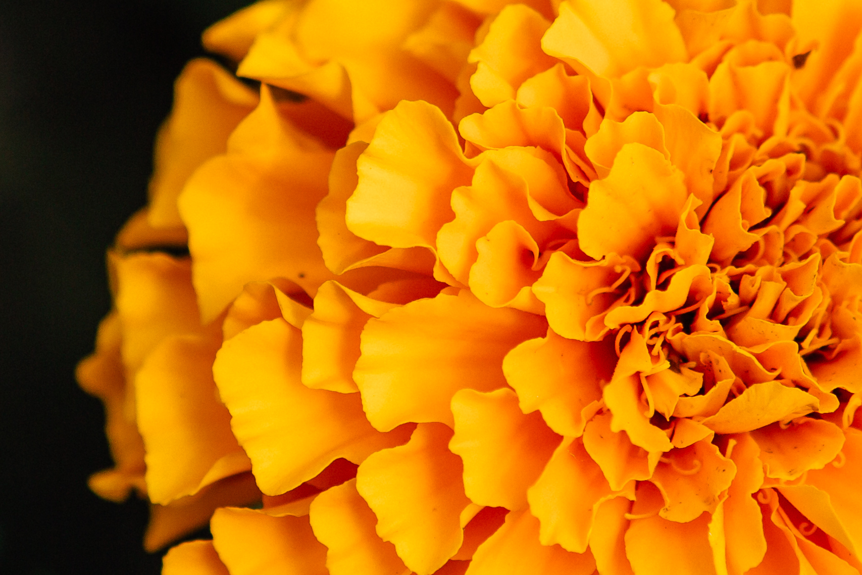 Crazy beautiful marigolds sparkle all throughout the scene.