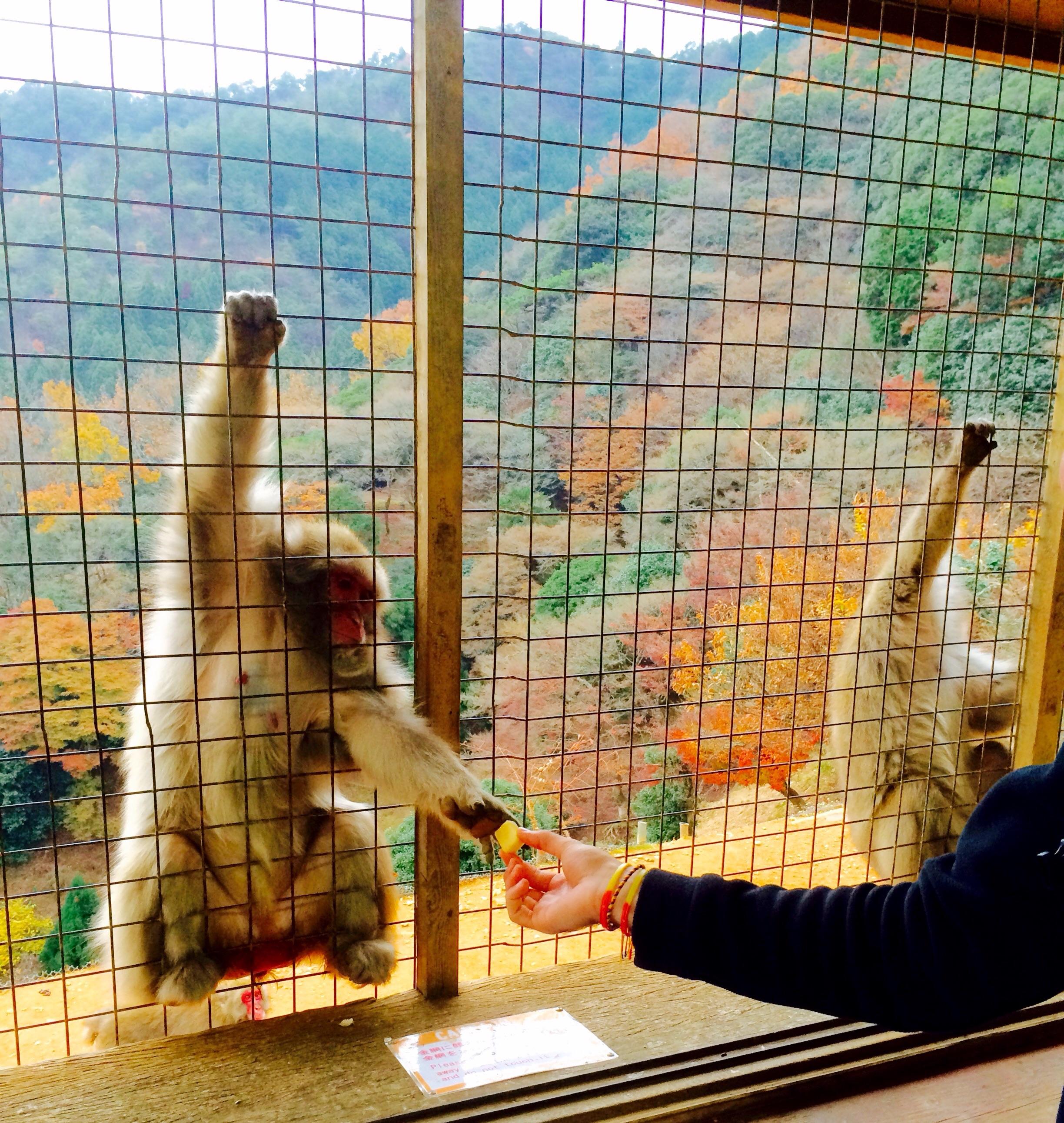 Feeding a snow monkey in Kyoto's Arashiyama Monkey Park