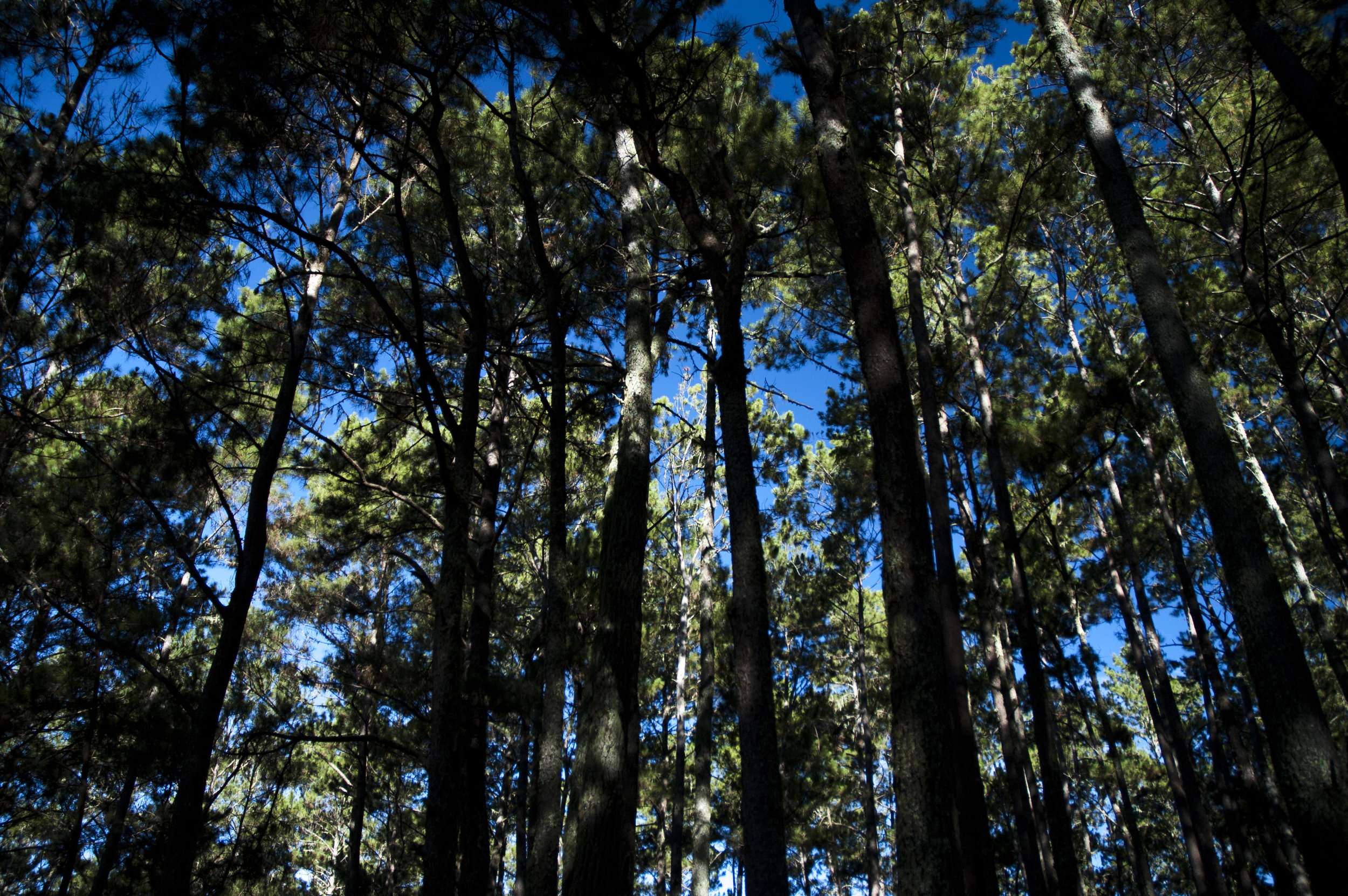 Pine forest, perfect for an early morning trek
