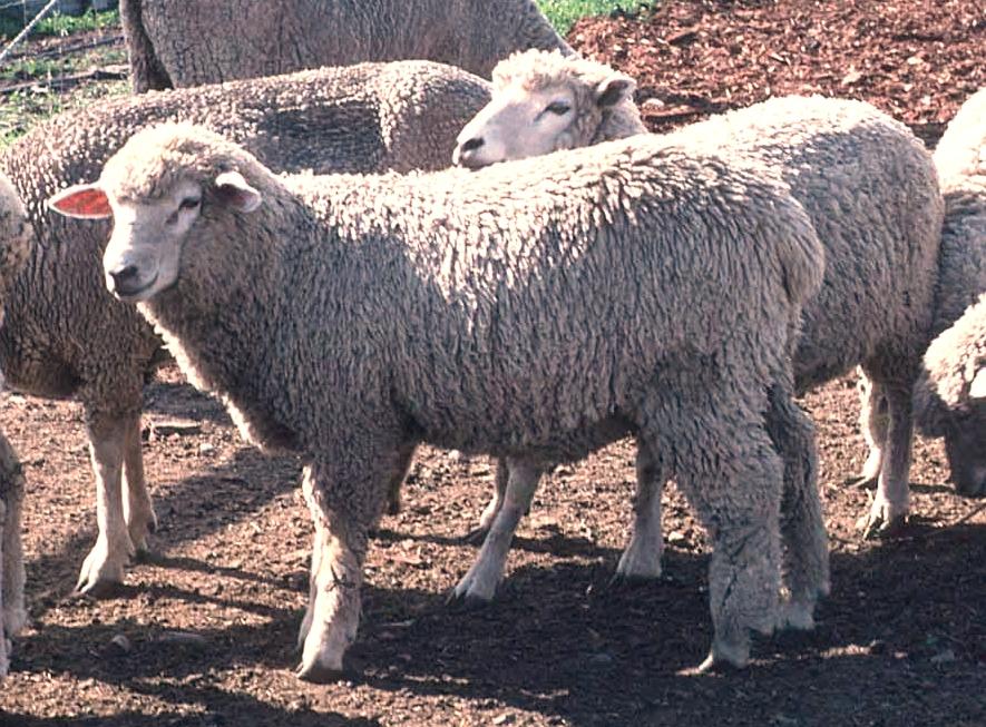 Corriedale_sheep.JPG
