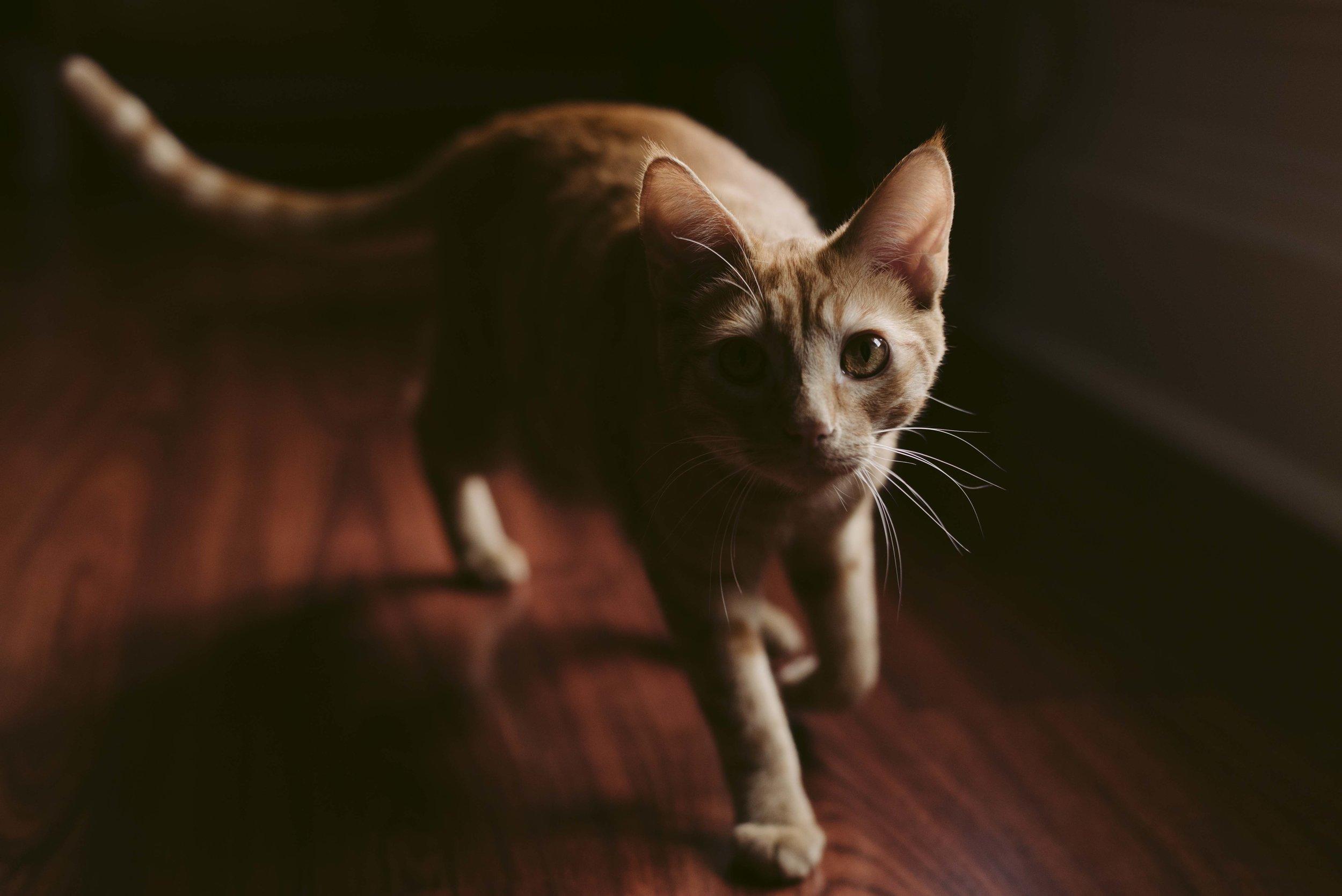 Mattis · Rescue cat in Fresno