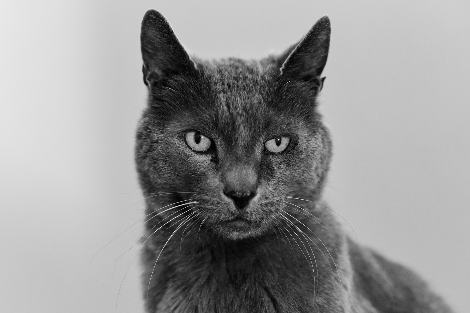 Black and white portrait of rescue cat Chance