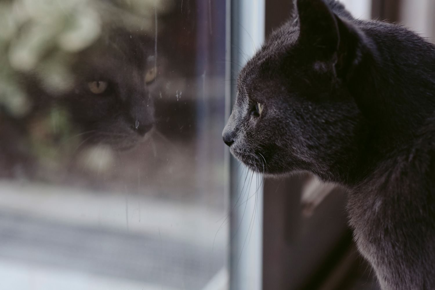 Grey cat looking out the window
