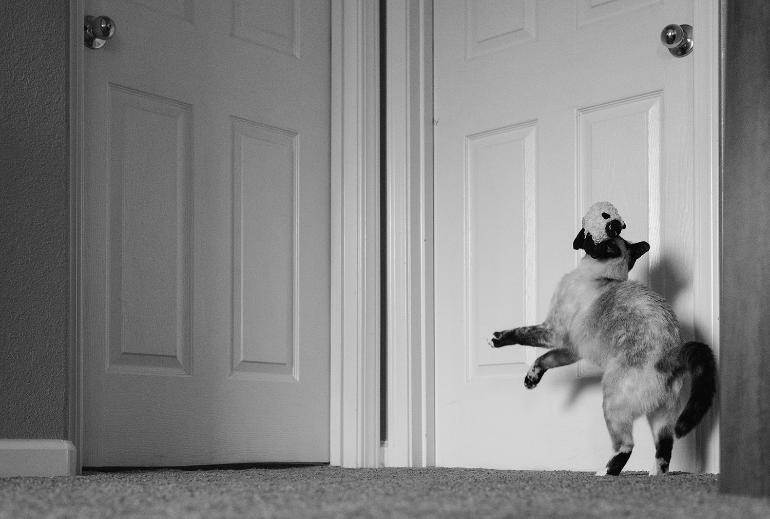 Cat playing with her favorite toy – a little stuffed sheep in front of white doors