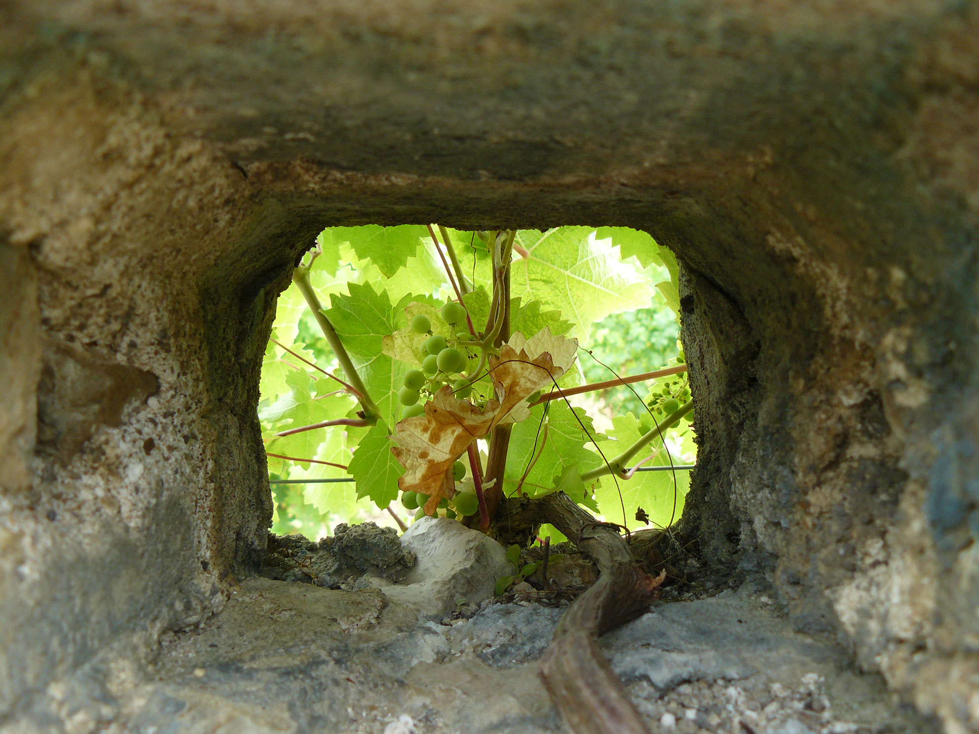 Vines at Antoine Cristal are trained through holes in the old stone walls.