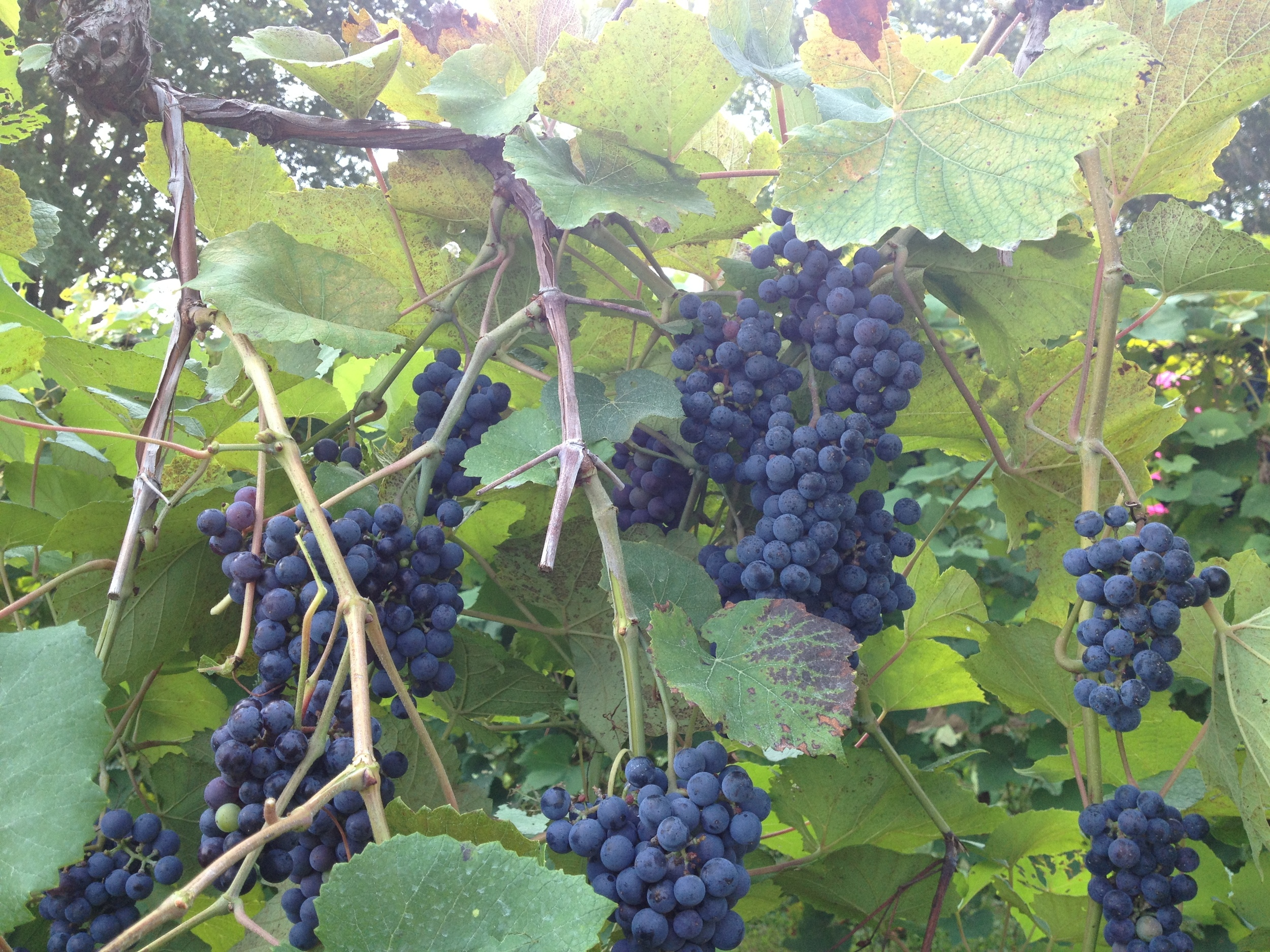 Norton grapes at Stone Hill Winery | Photo credit: Stone Hill Winery