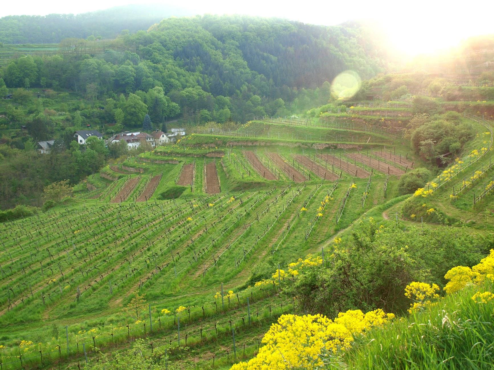 Famous vineyard called Steiner Hund