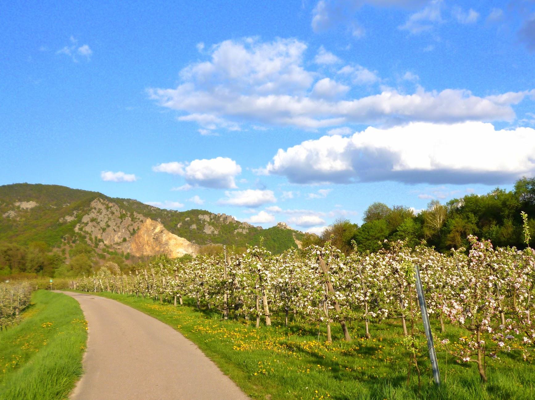 Bloom of the Marillen trees