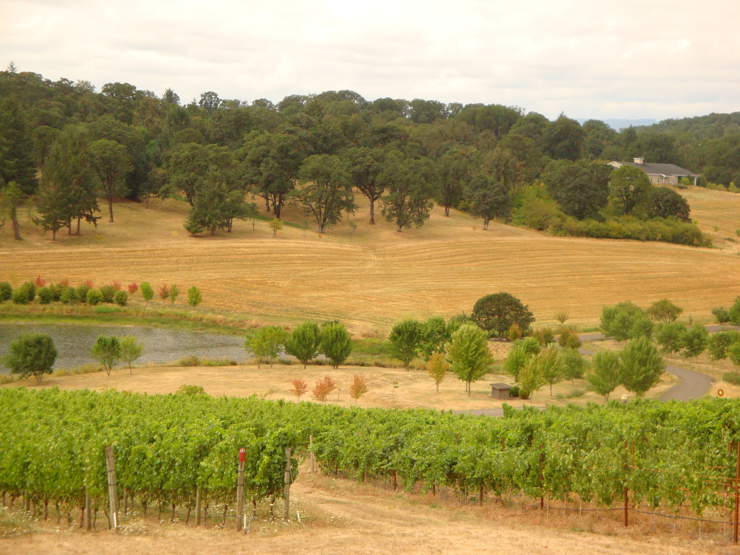 Gorgeous view of the vines at Left Coast Cellars