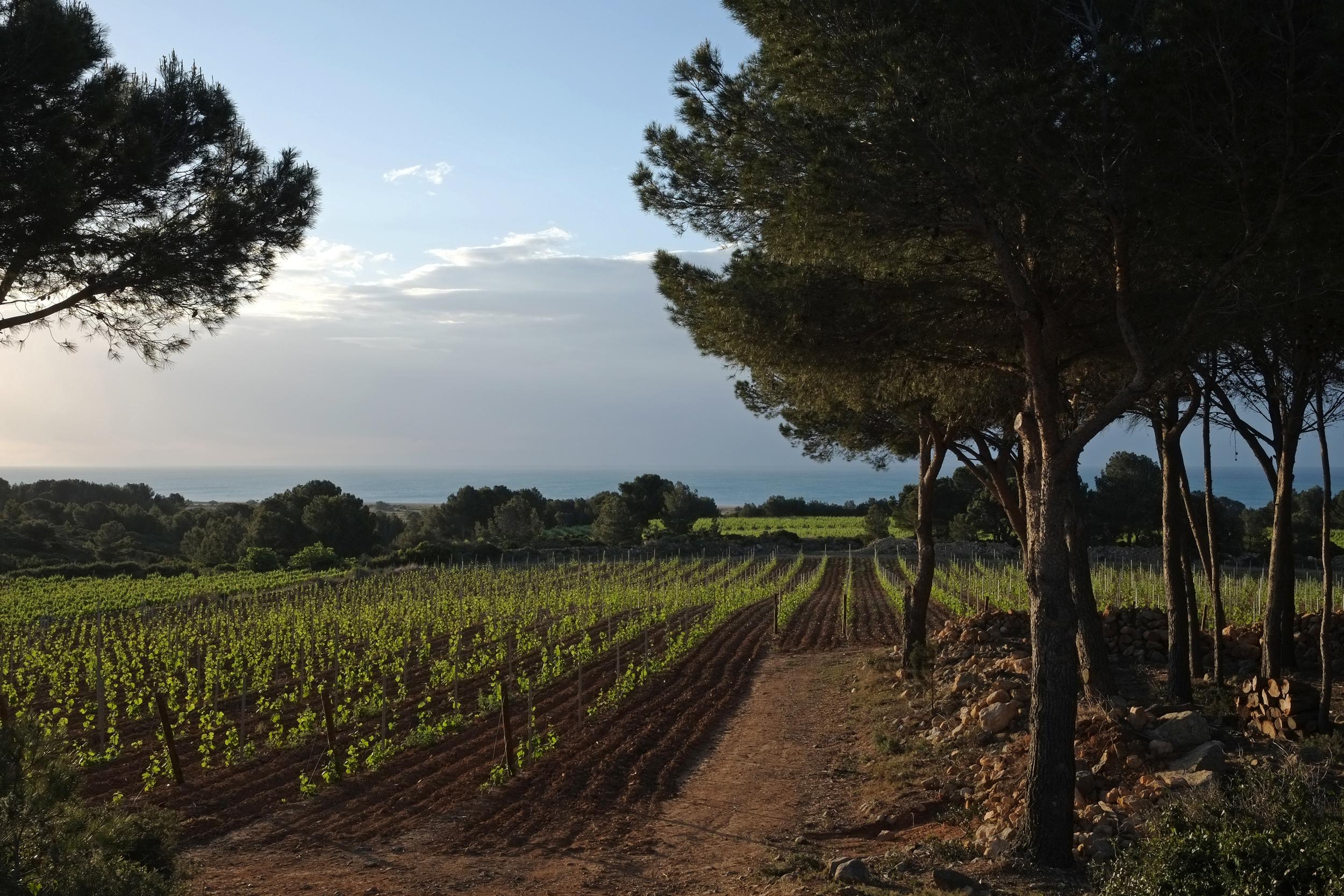 Beautiful vines of La Clape