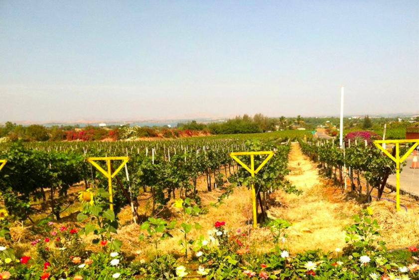 Older Vines at Sula Vineyards