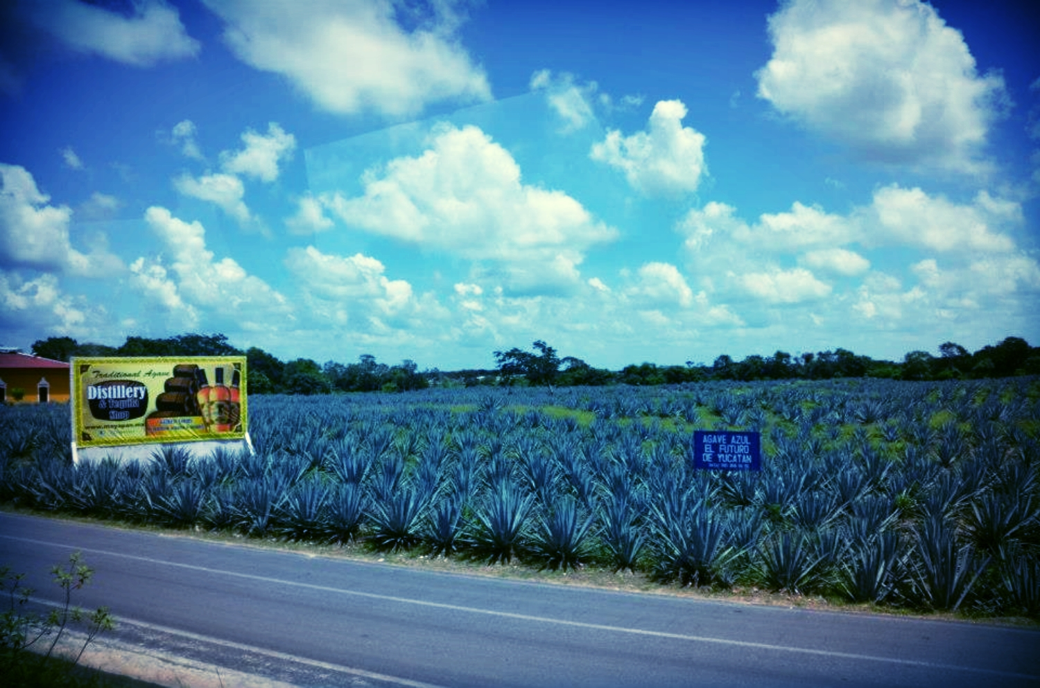 """A source of many epic hangovers, the blue agave is plentiful in the Yucatan Peninsula of Mexico. The sign suggests that this beautiful succulent is the """"future of the Yucatan."""" Let's help the Yucatan; let's drink more tequila!"""