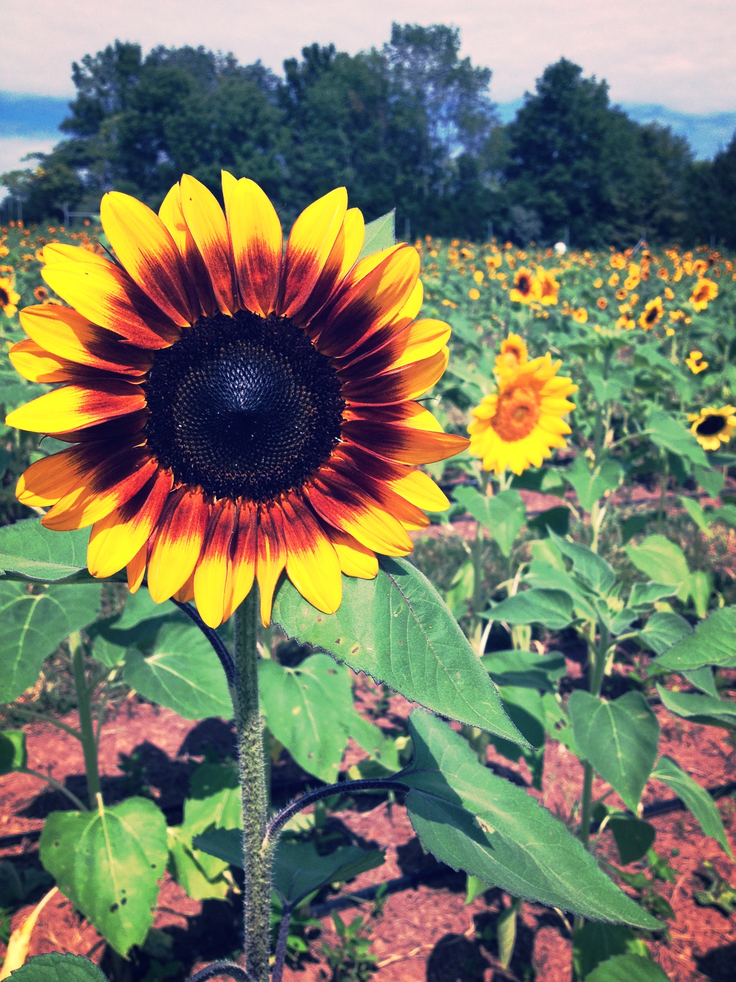 Summer in the Sunflowers.