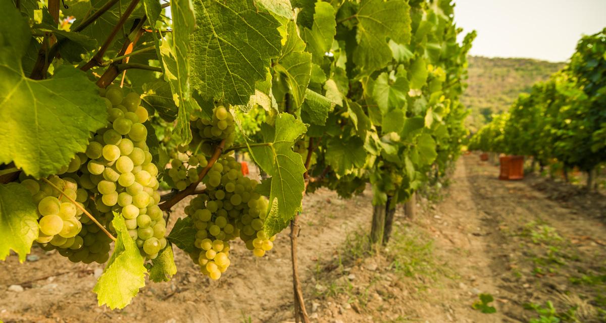 Harvest 2012 | Photo Credit: Fabio Cattabiani