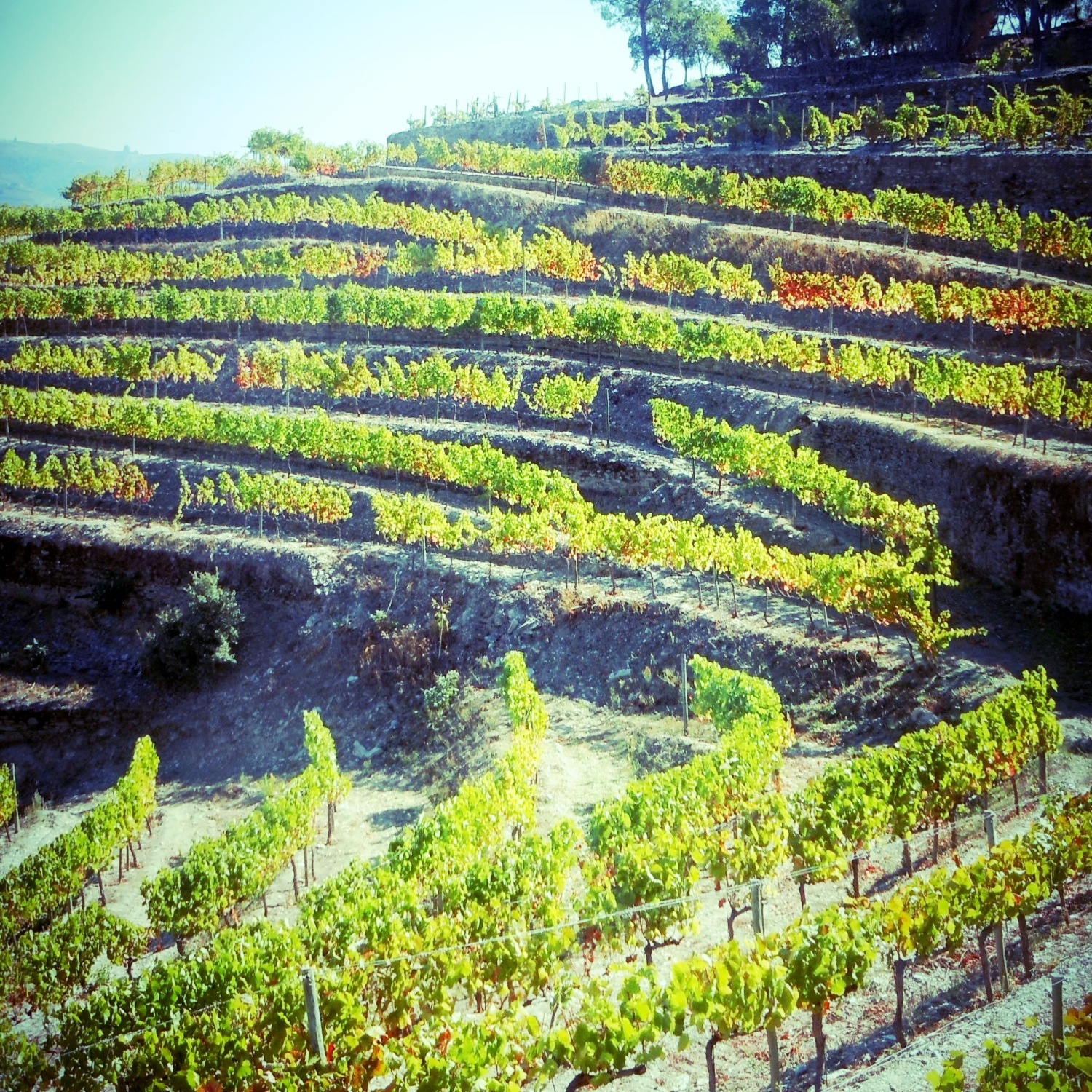 Douro Valley terraces - This is the world's oldest demarcated wine region established in 1756. The terraces were originally created by human hands on the banks of the Douro river.