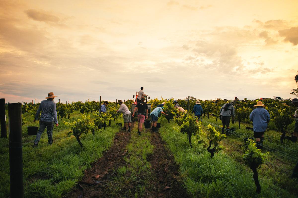 Tyrrells Wines -Vintage 2016 Vineyards hand picking LORES_credit Tyrrells Wines.JPG