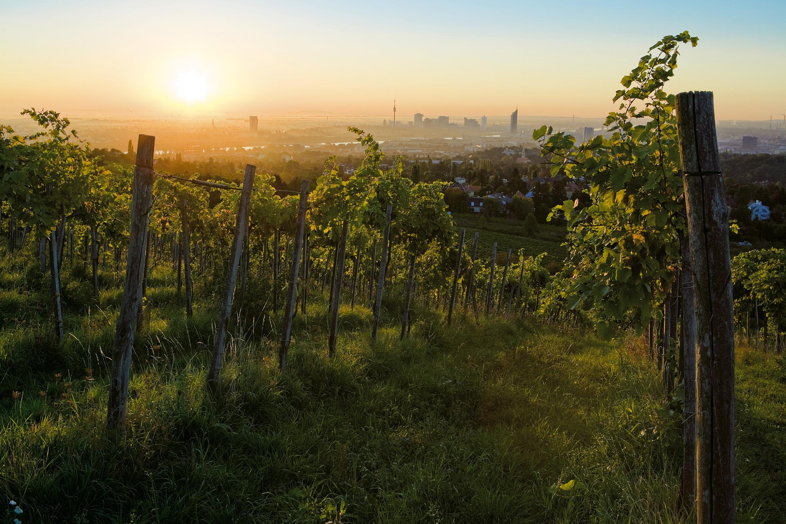 view of vineyard and city.jpg