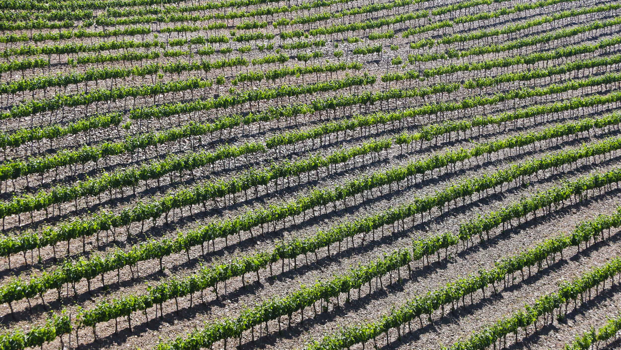 Vineyards of Granada