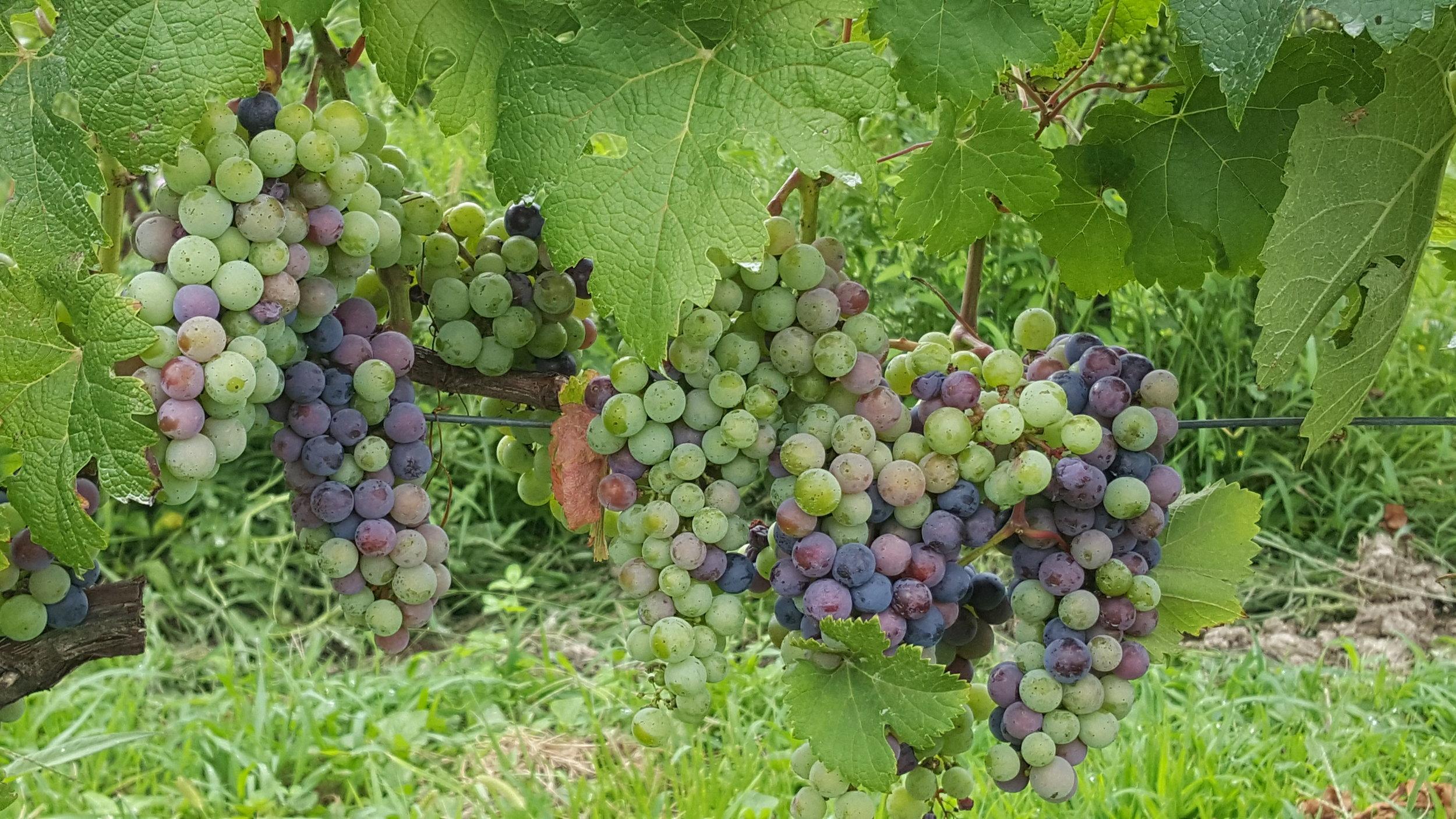 Maryland Vines