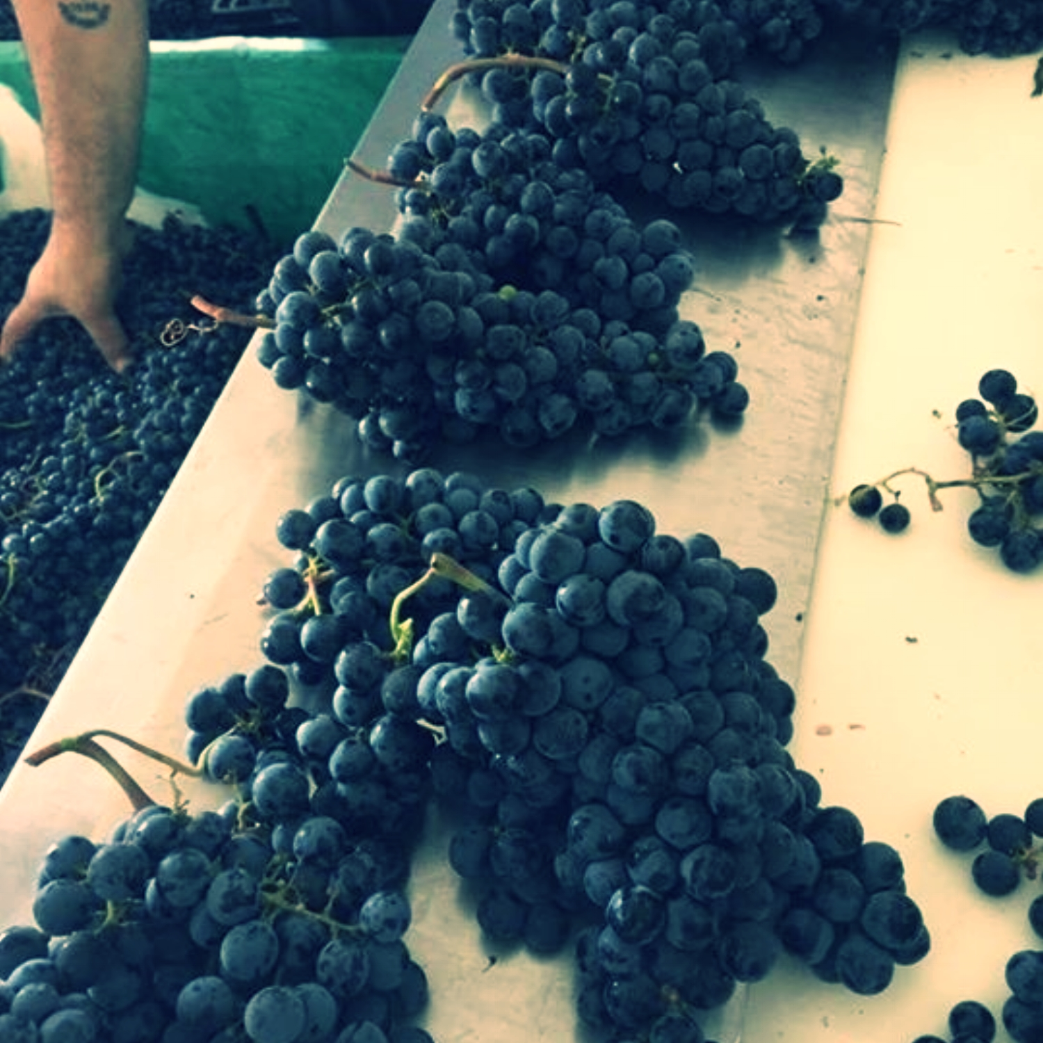 Separating grapes at Taybeh Winery for 2016 Harvest