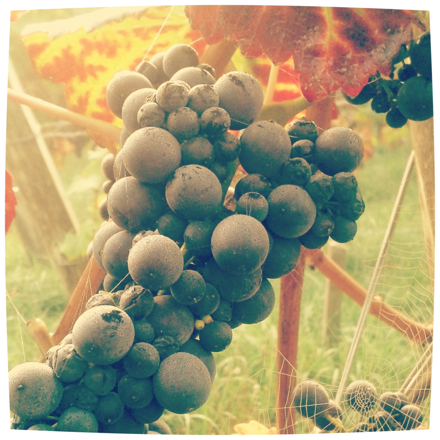Nature is taking back its course… Harvesting for a natural wine at Coteaux de Trumao, Northern Patagonia, Chile
