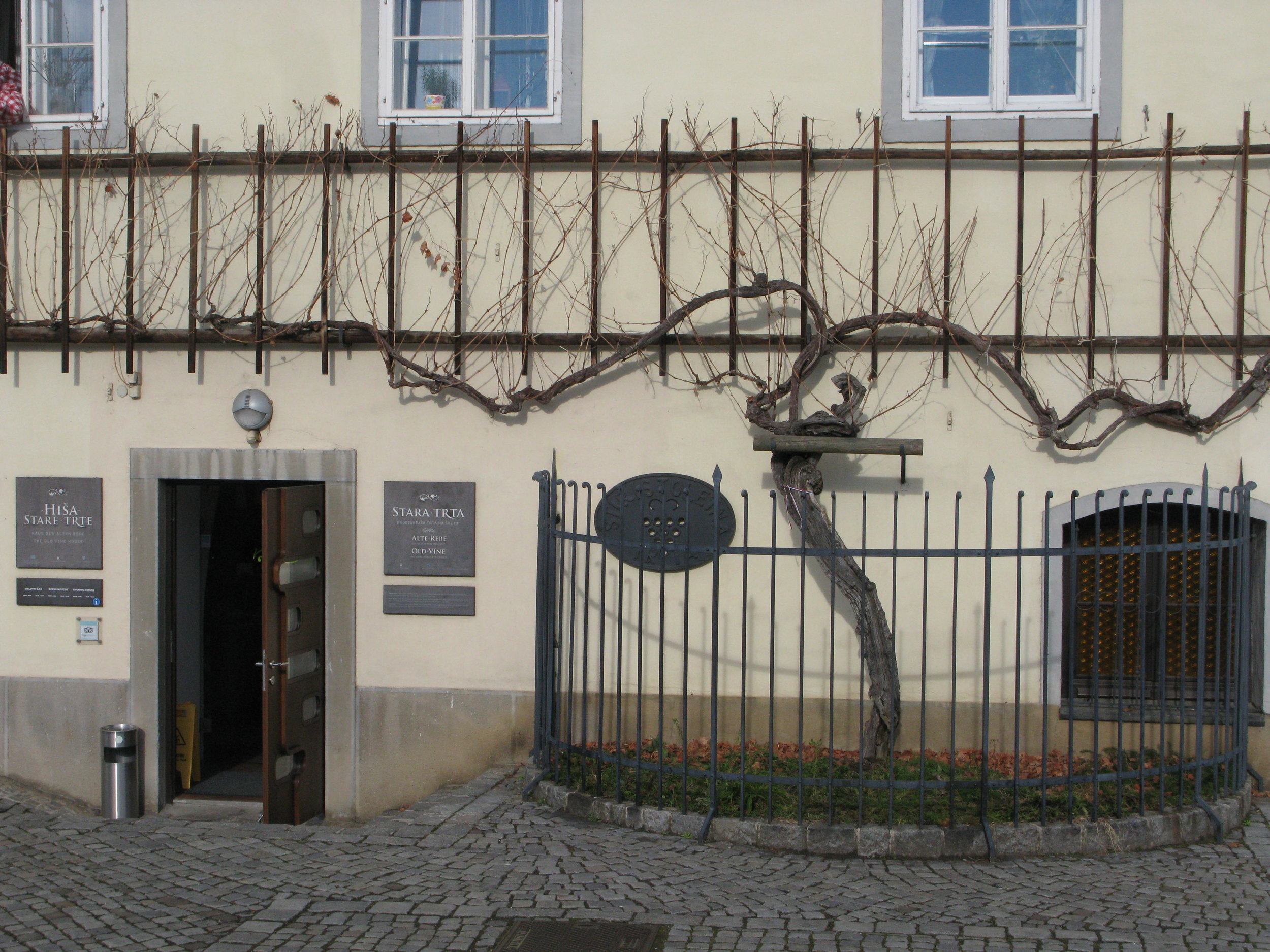 The old vine ready for pruning.JPG