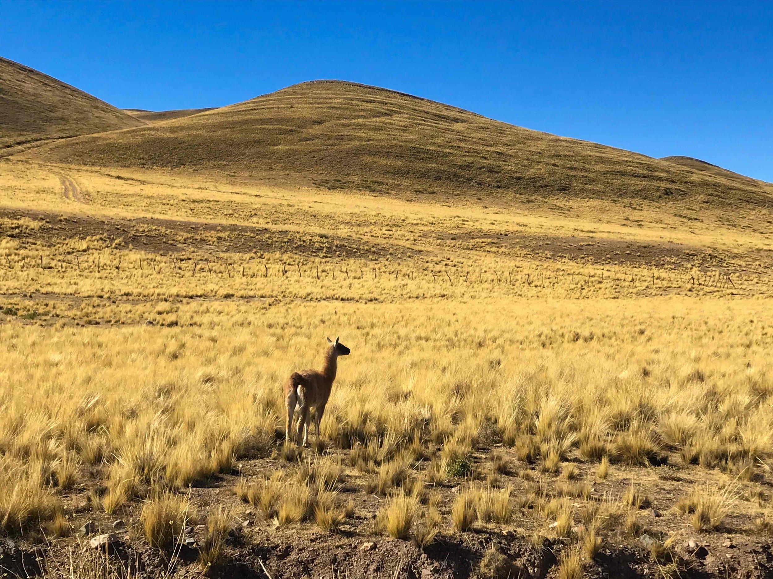 Llama along the Tin Tin Straight Line in Los Cardones National Park, Argentina.
