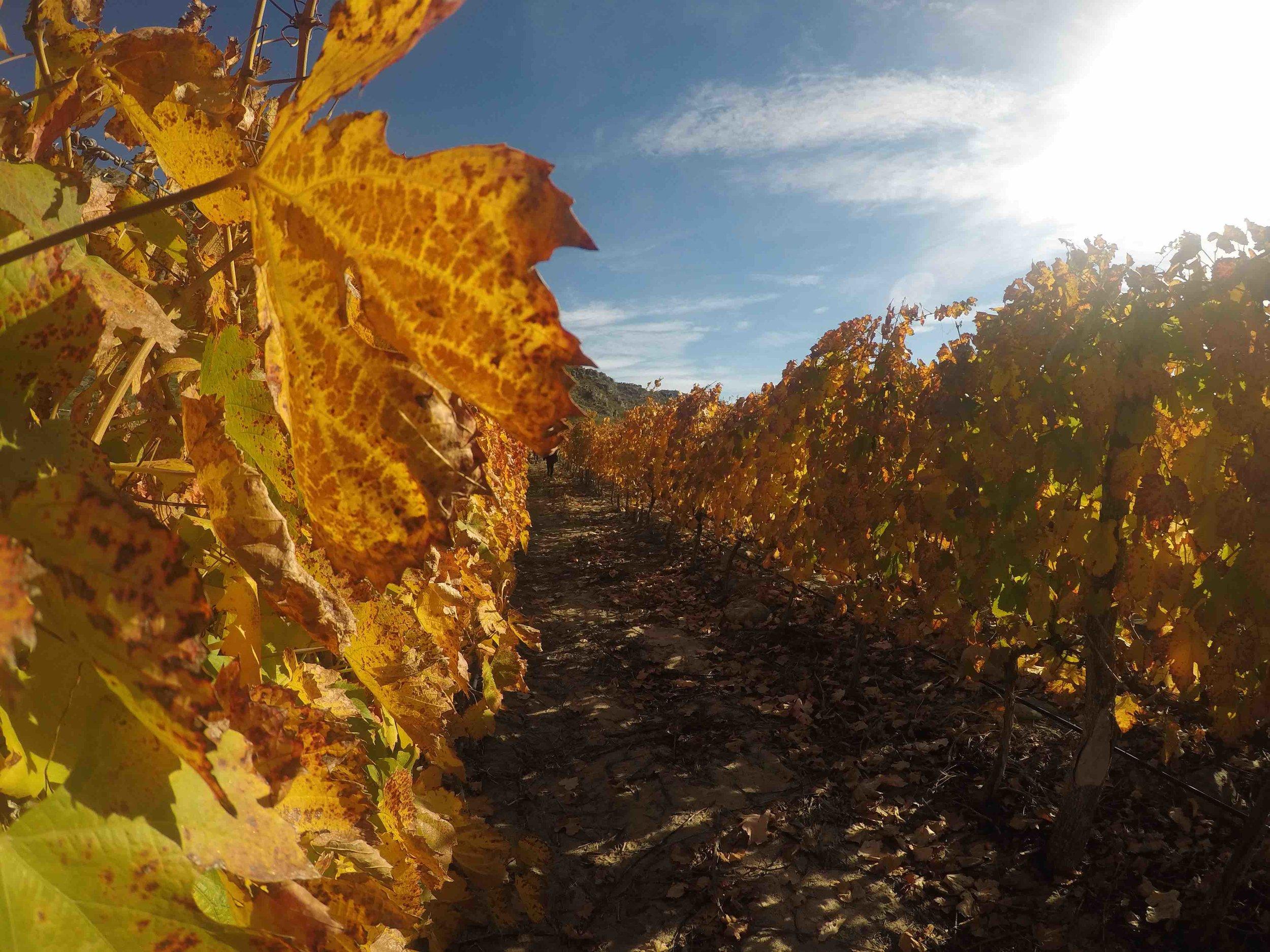 Fall Vineyards at El Porvenir, Cafayate, Argentina