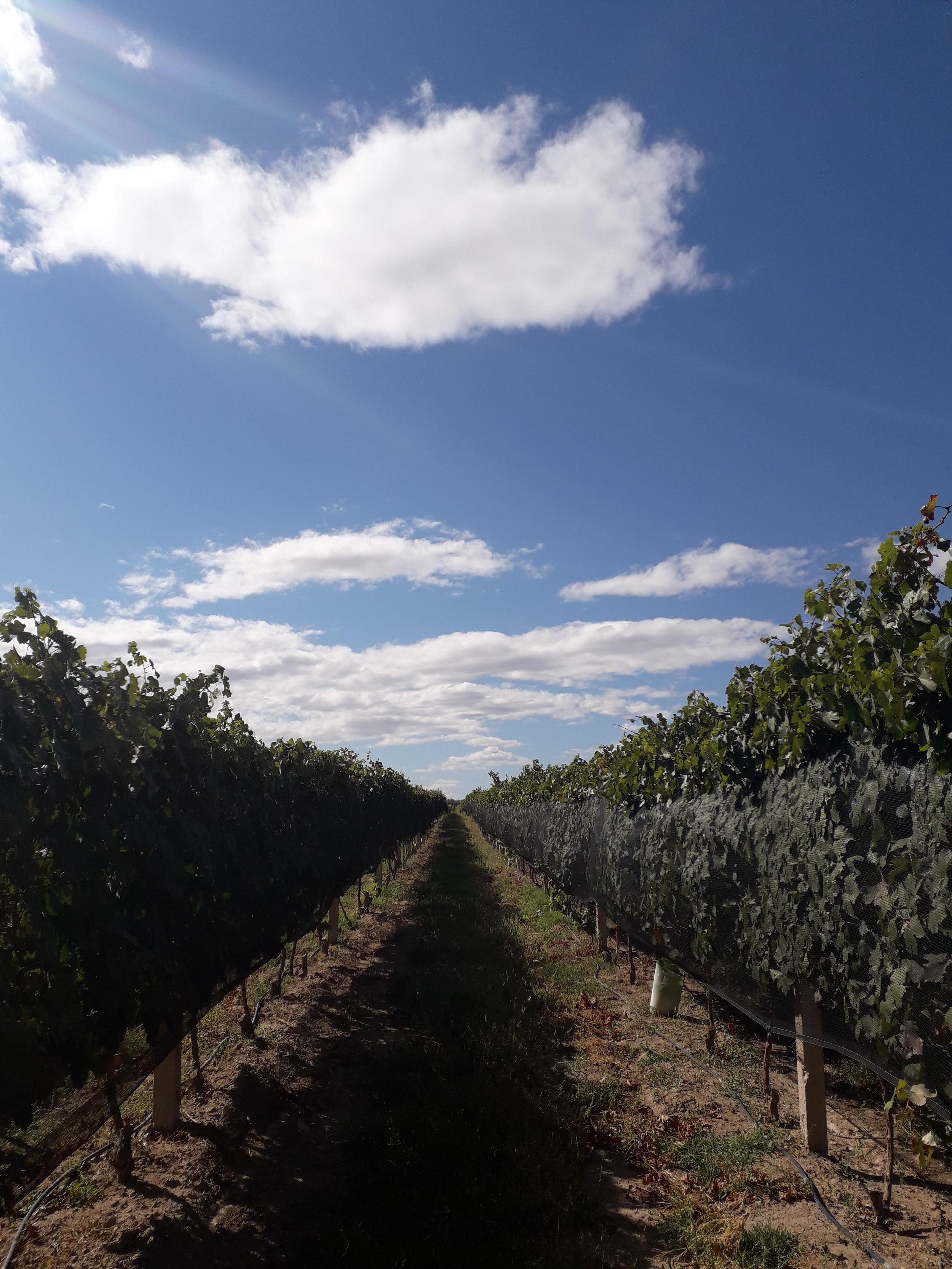 Looking down a row in the Karas Wines vineyard.
