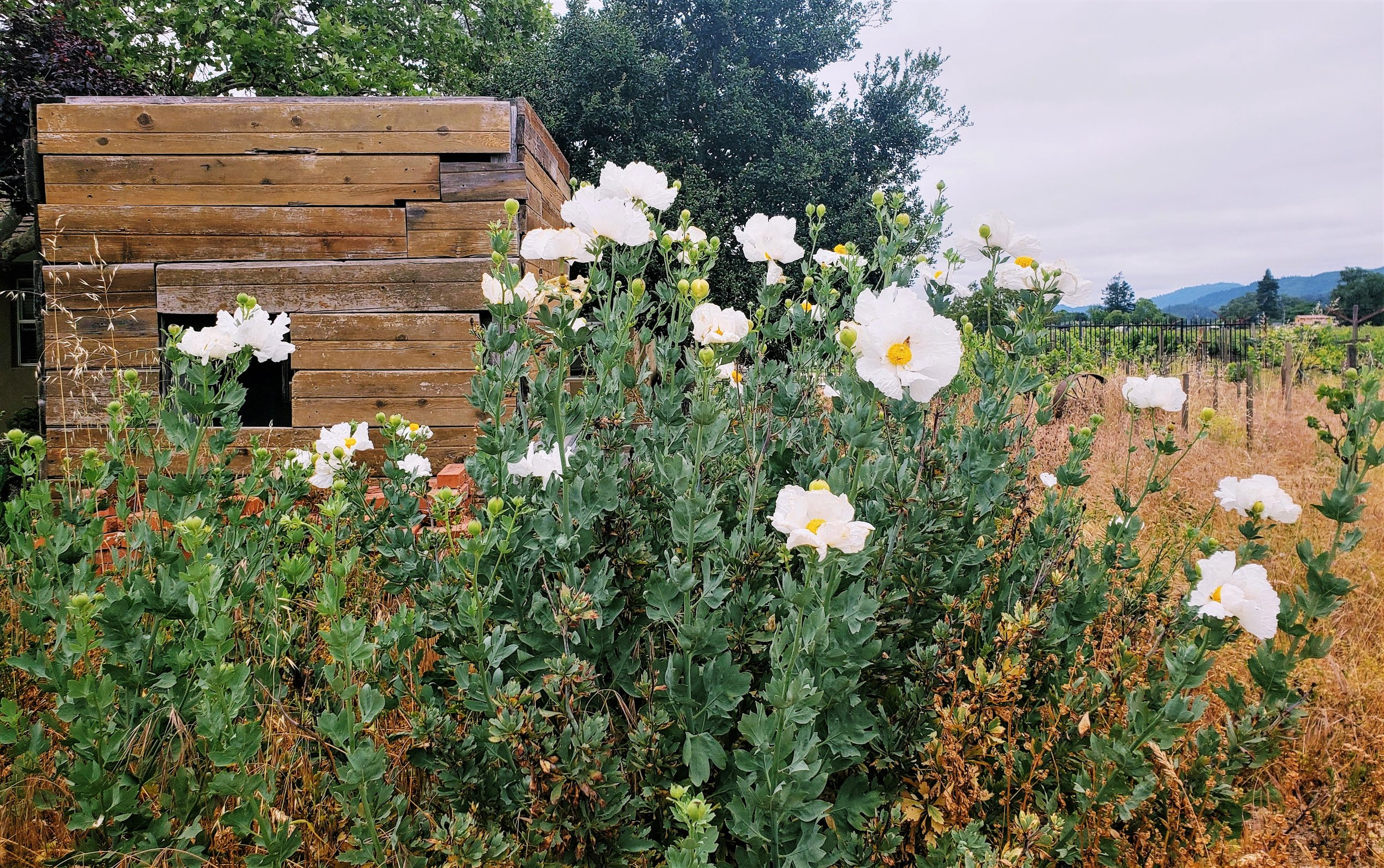 Matilija Poppies.jpg
