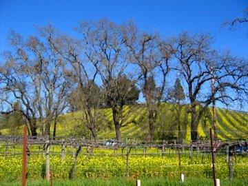 mustard on hill through trees IMG_5925.jpg