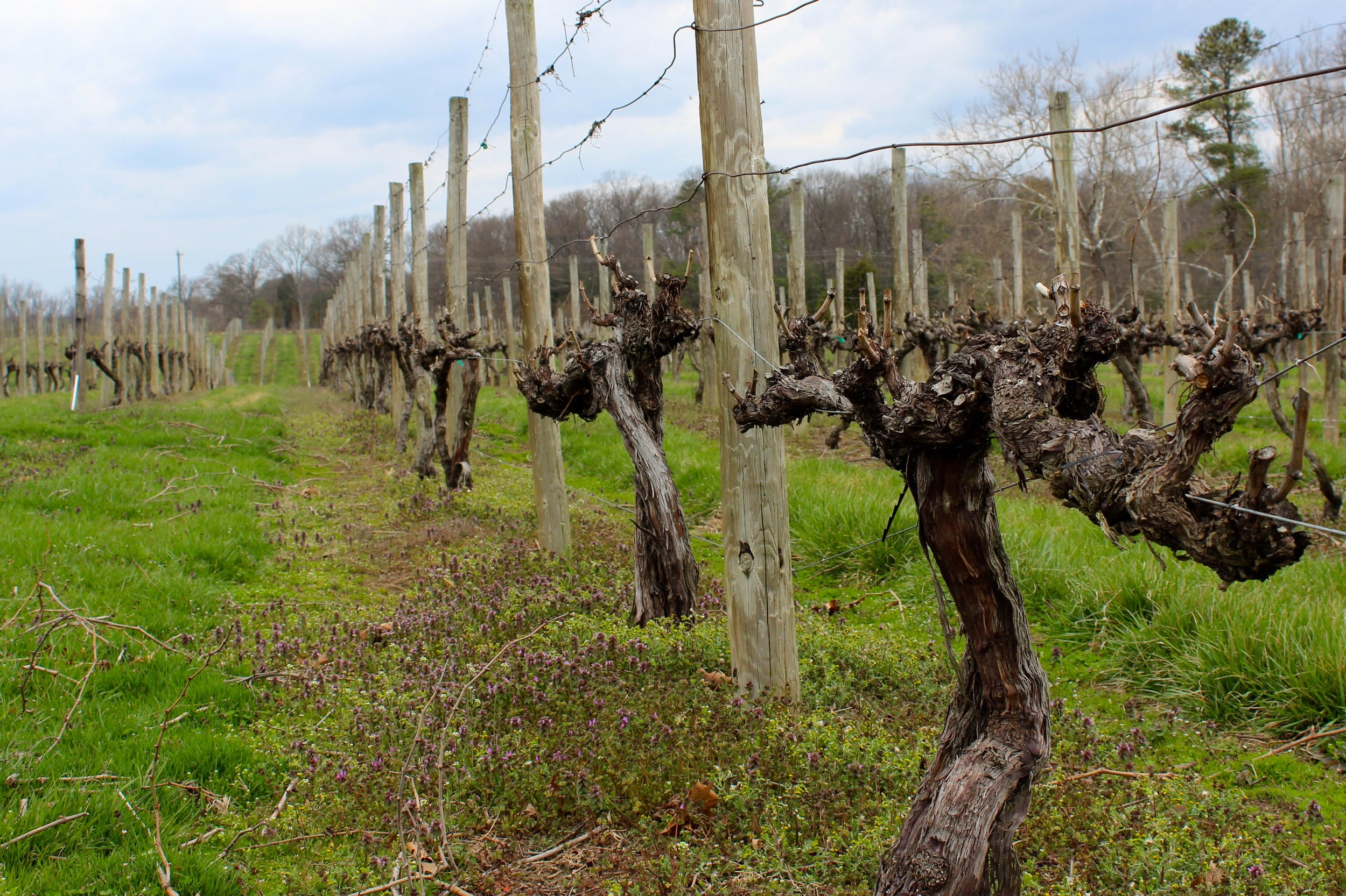 Dormant vines with winter pruning complete.  Photo credit WTM