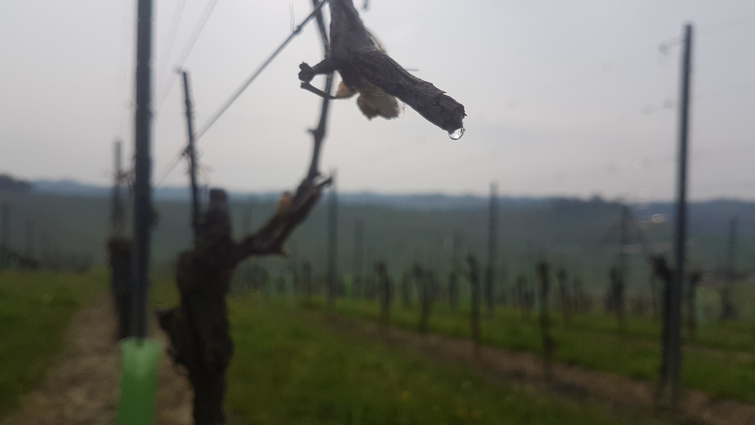 "A vine shedding ""tears.""  Photo credit Giacomo Manzoni"