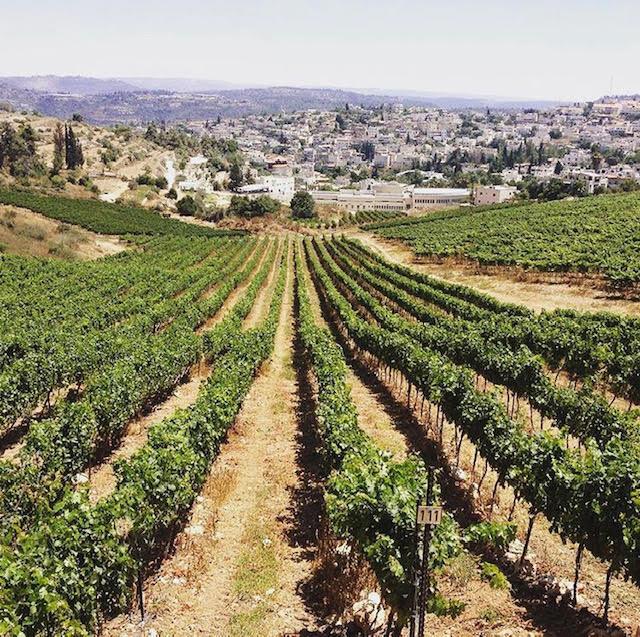 Vineyards near the village of Abu-Gosh.  Credit Domaine du Castel