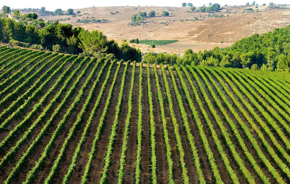 Kayoumi vineyard near Meron Mountain in the Upper Galilee.  Credit Carmel Winery