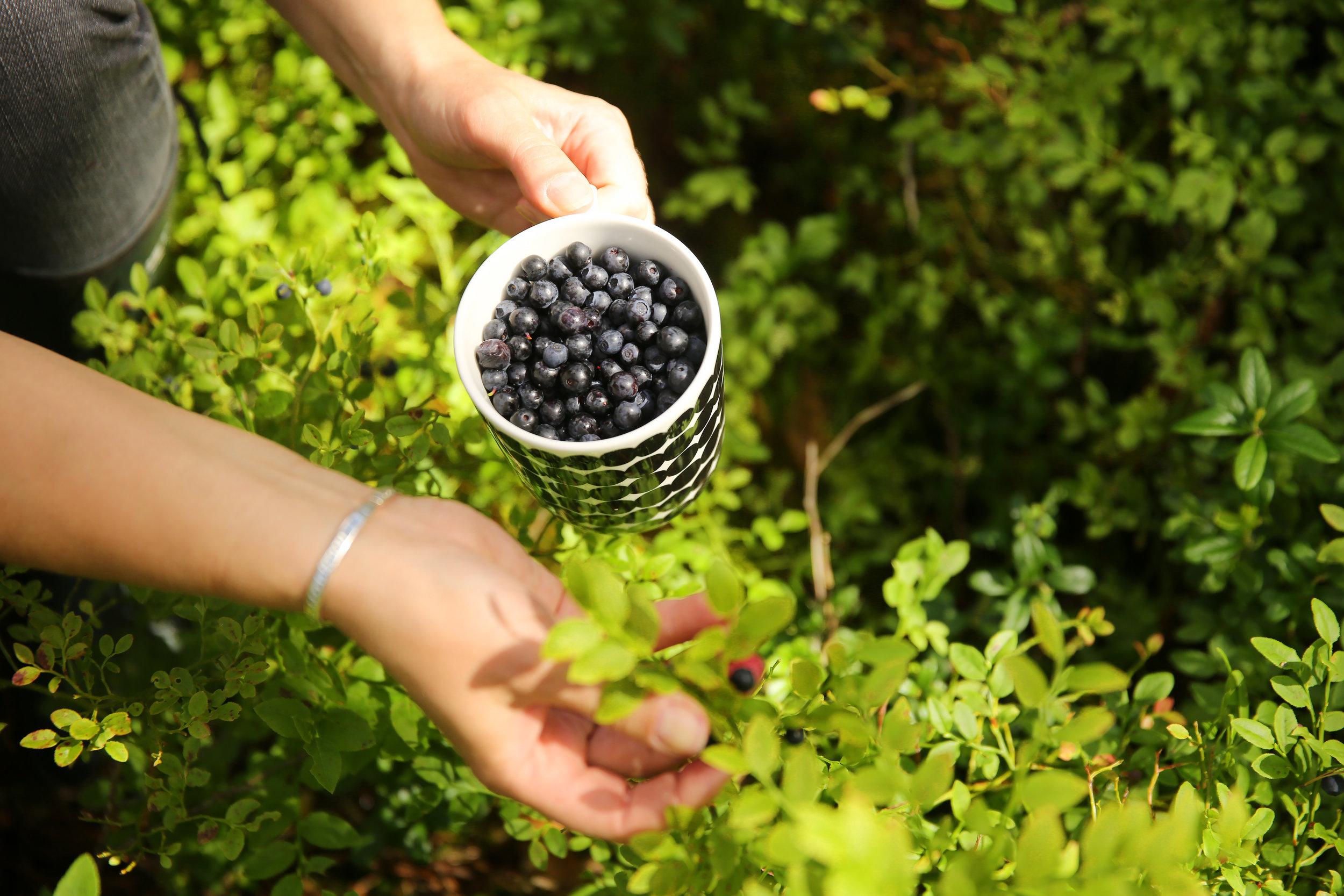 Picking blueberries. Visit Finland, Harri Tarvainen